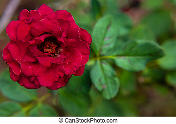 close up of beautiful red rose against floral background with copy space in right. floral and love concept