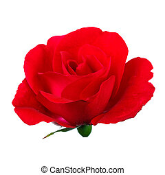 Close-up of beautiful red rose on a white background.