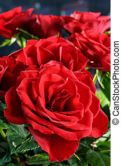 close up of beautiful red roses