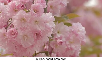 Close-up of beautiful sakura branch with bushy charming pink...
