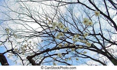 close up of beautiful sakura tree blossoms at park - nature,...