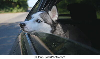 Close up of beautiful siberian husky dog looking out from the window of moving car at sunny day. Domestic animal sticks her head out of automobile to enjoying the wind and watching to nature