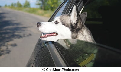 Close up of beautiful siberian husky dog looking out from...