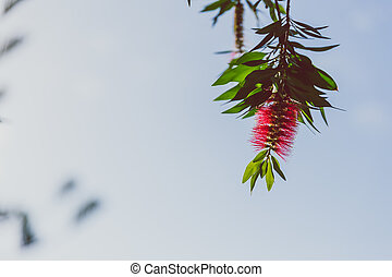close-up of beautiful subtropical Callistemon Bottle brush plant