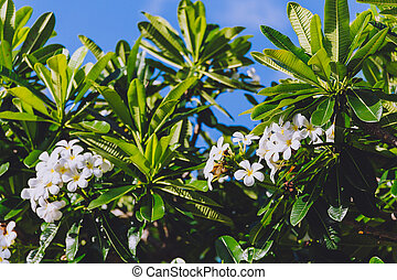 close-up of beautiful subtropical frangipani plant shot in ...