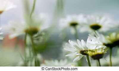 Close-up of beautiful white chamomile flowers