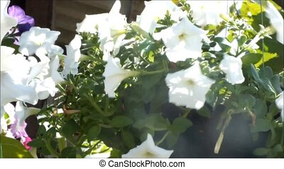 Close up of beautiful white Petunia Summer flowers