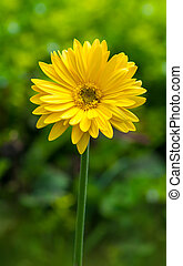 Close up of beautiful yellow gerbera flower