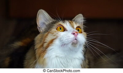 Close up of beauty cat snarling. Wild yellow eyes. - Close...