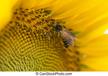 Close up of bee on sunflower.