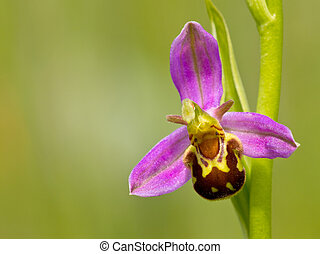 Close up of bee orchid