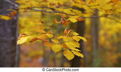 Close up of beech tree leaves in autumn time