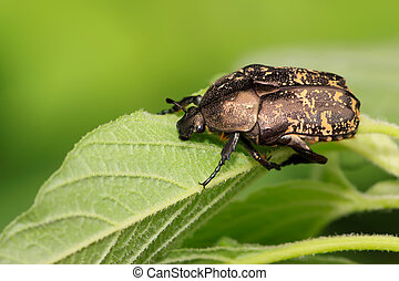 chafer - close up of beetles, a kind of chafers, north...