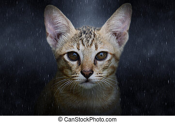 Close up of Bengal cat in the rains.