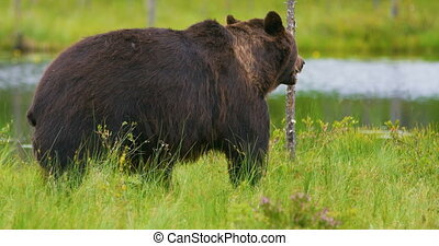 Close-up of big adult brown bear walking in the forest -...