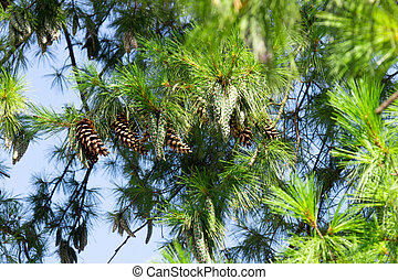 Close up of big pine cones growing on a tree branch over blue clear sky background