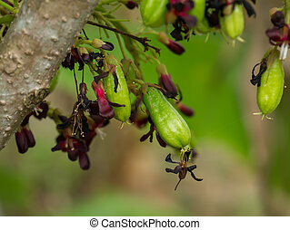 Close up of Bilimbi flower on tree.