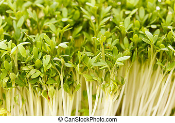 Close-up of biological garden cress