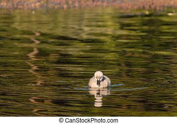 black swan cygnet swimming on lake - close up of black swan...