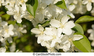 Close-up of blooming apple tree in spring