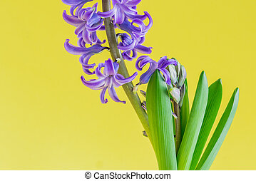 close up of Blooming Blue hyacinth flower on yellow background.