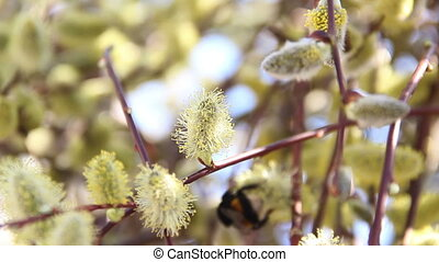 willow catkins - close-up of blossoming willow catkins