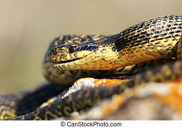 close up of blotched snake head