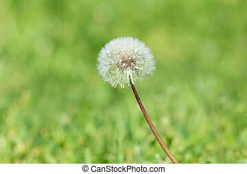 blowball in green grass - close up of blowball in green...