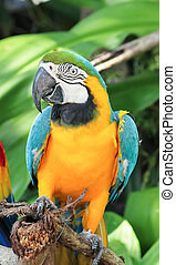 Close up of Blue and Yellow Macaw in the zoo
