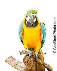 Close up of Blue and Yellow Macaw on white background