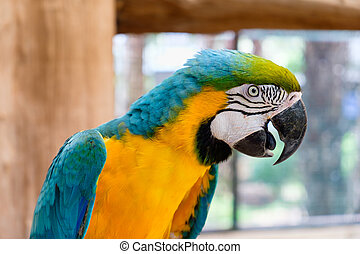 Close up of Blue-and-yellow macaw
