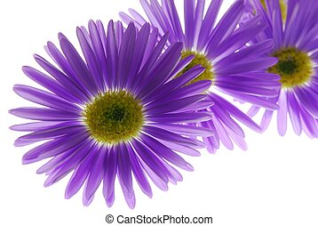 Close-up of blue asters against white background