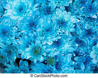 Close up of blue chrysanthemum flower
