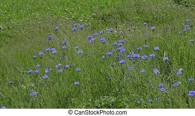 Close up of blue cornflower flowering in spring sunshine.