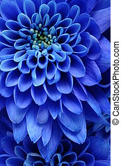 Close up of blue flower : aster with blue petals and yellow heart for background or texture