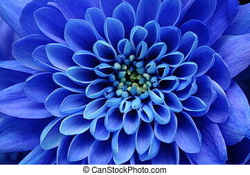 Close up of blue flower : aster with blue petals and yellow...