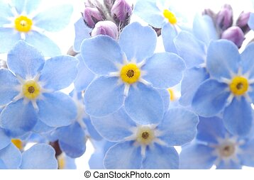 blue Forget me not flower - Close-up of blue Forget me not...
