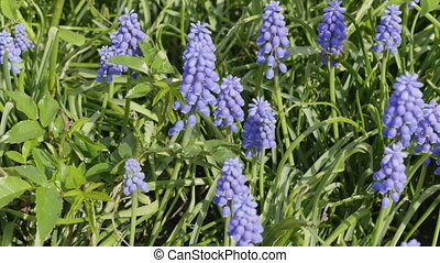 Close up of blue Lupines flowering in spring sunshine.