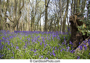 Close up of bluebells in a meadow