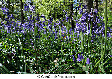 Close up of Bluebells in Staffhurst Woods