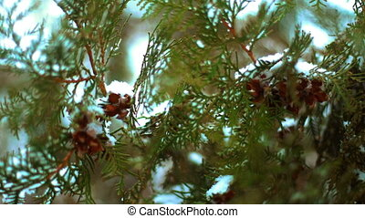 close up of Branch green fir tree covered in the snow