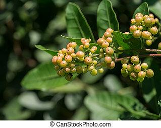 Close up of Brazilian Pepper-tree fruit.