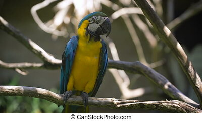 Close up of bright indian parrot with yellow body and blue wings sitting on the perch. Large long-tailed macaw with brightly coloured plumage is living in the zoo.