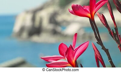 Close up of bright red blossom plumeria flowers in front of the ocean bay with some huge granite rocks and defocused long tail boat wiggle in the wind