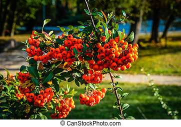 Close up of bright red pyracantha berries on tree