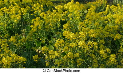 Close up of broccoli flowers after harvest - Close up of...