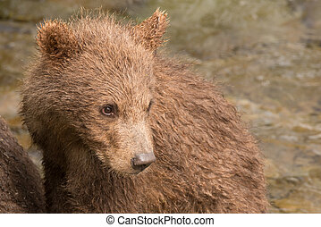 Close-up of brown bear cub turning head