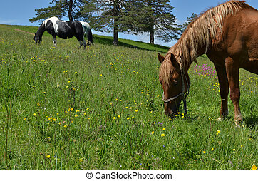 Close-up of Brown Horse Grazing in a Field