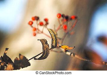 brown leaves on rowan tree