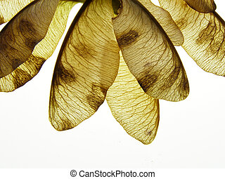 brown maple seeds